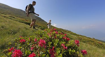 Hiking trips  when the Alpine roses blossom 